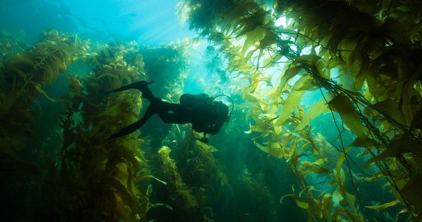 Kelpforest-1